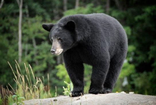 black-bear-480