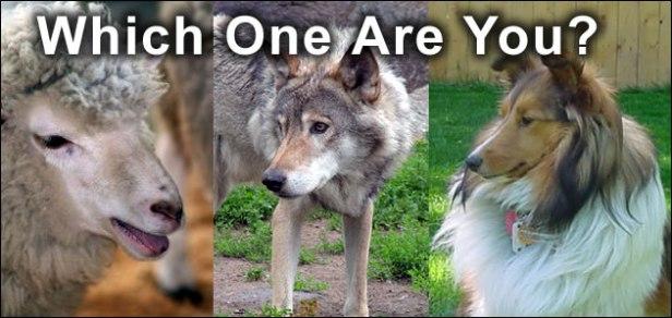 sheep-wolf-sheepdog
