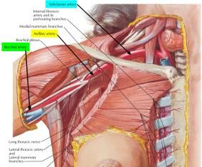 brachial-artery.jpg