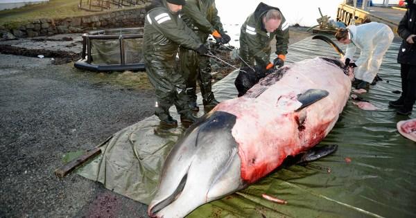 Plastikmüll im Meer: Dieser Wal hatte 30 Plastiktüten im ...