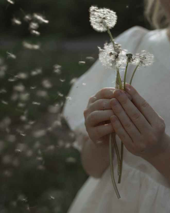 person holding white dandelions