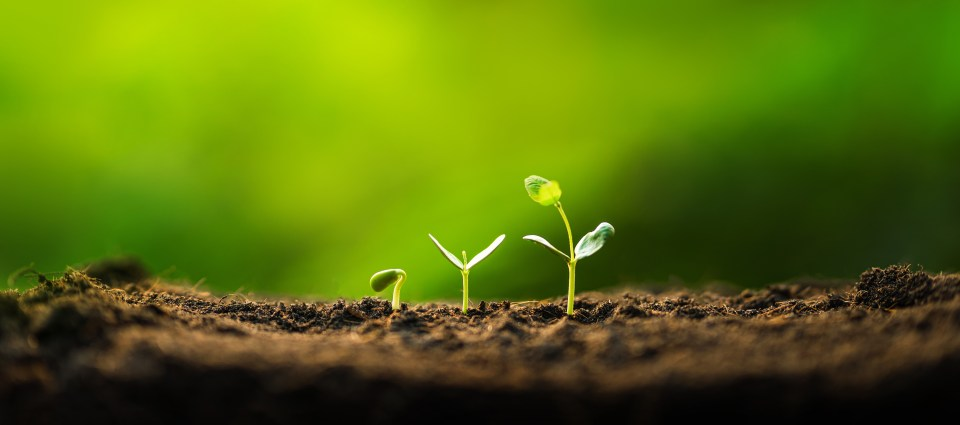 Three saplings are growing on the soil and a natural green background