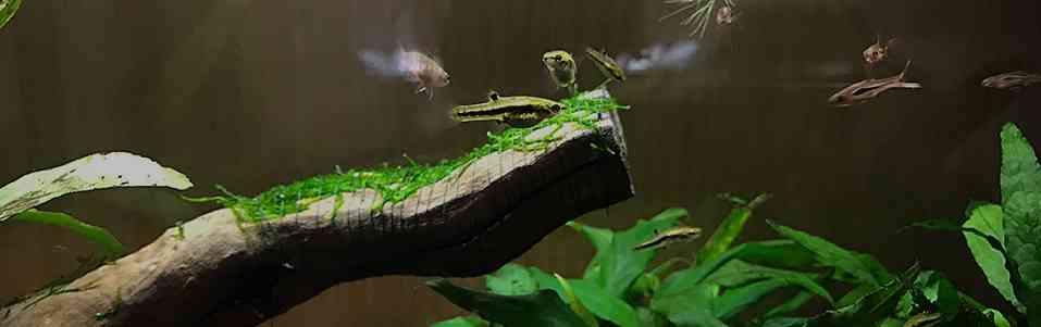 Аквариумные мхи – приращиваем к субстрату