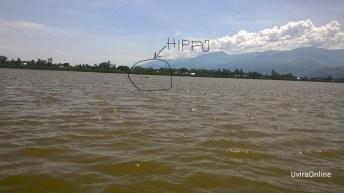 Uvira-RDC: Un hippopotame bloque passage aux cultivateurs