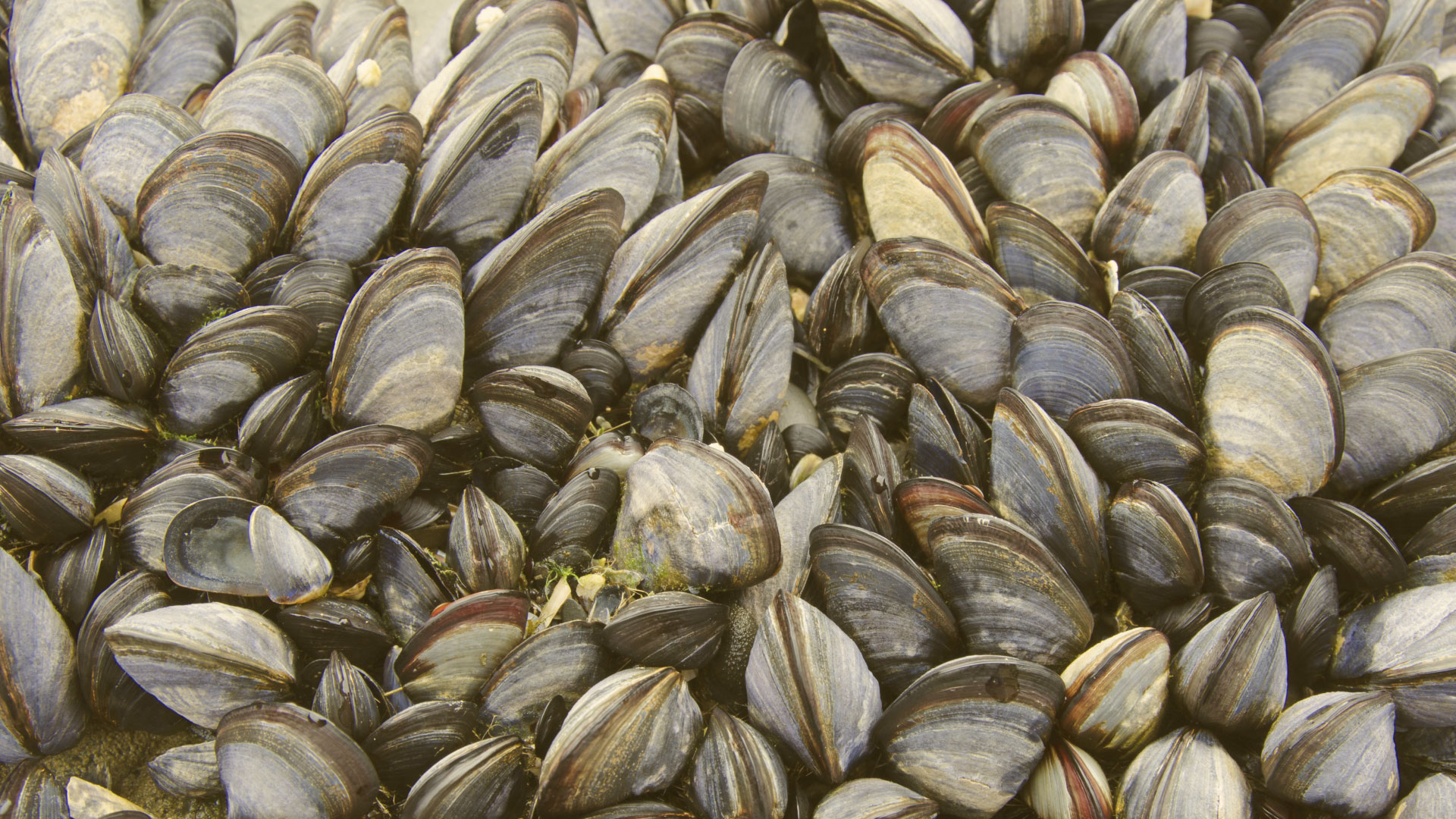 Climate Change A Boon To Mussel Population