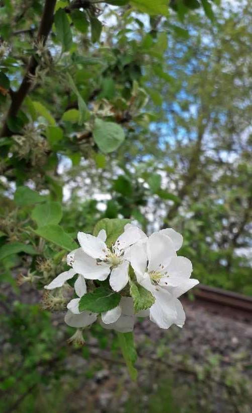 Blüten des Holzapfels