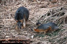 C - Baylands -01-22-2014-053 - Gray fox showing submissive behavior to tagged fox in clearing
