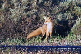C - Baylands - 04-10-2013 - 120 - Red fox running along brush & pipe