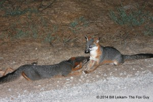 C - Baylands - 09-12-2013 - 037 - Gray fox pup Dark Face, happily greeting helper female - Tail swish, fox-kiss & ears - Excellent