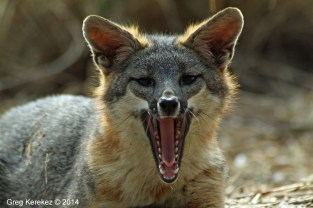 grey-fox-yawning©Greg Kerekez 2014