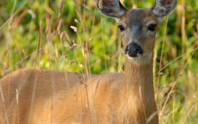 Next Phase of Deer Management Plan Starting