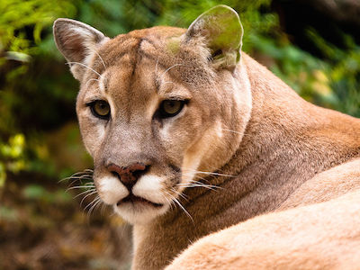 Cougar Sighting: Use Caution When Out Walking