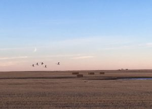 Cranes Flying Over the Prairie