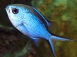 bluechromis5