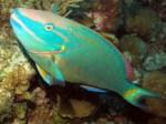 stoplightparrotfish7