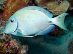 surgeonfish3