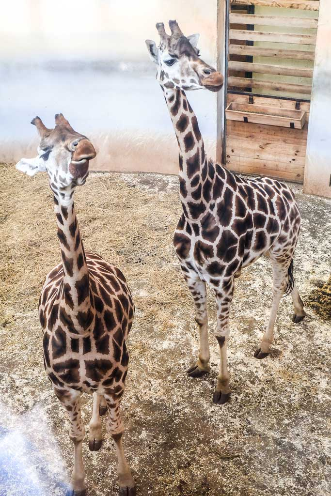 Пражский зоопарк. Жираф