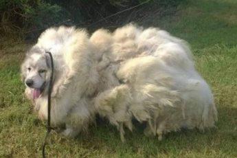 За дверью прямо в грязи лежал пес, совершенно заросший. Но, когда с него срезали 16 кг шерсти, он изменился
