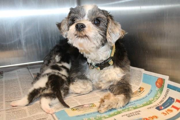 Собака рисковала жизнью, чтобы спасти крошечного котенка. А потом выкормила его, как собственного щенка!