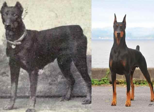12 пород собак, изменивших свой вид за последние 100 лет