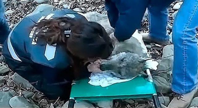Девушки нашли волка в ледяной воде. То, что произошло дальше, трогает до глубины души!