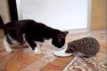 Жадный ежик не хочет делиться своим молоком. Смотрите, как нелегко котику с ним воевать!