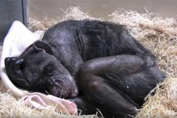 Это останется в сердце! 59-летняя шимпанзе устала от жизни и не реагировала на мир… Но вдруг к ней пришёл давний друг!