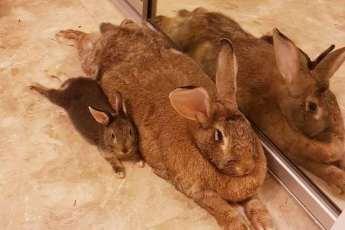 Размер дружбе не помеха: кролик обожает свою гигантскую подружку