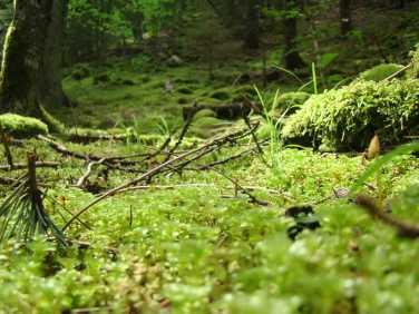 Borzhomskij lesa