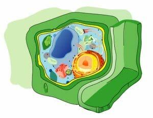 esquema de una célula vegetal