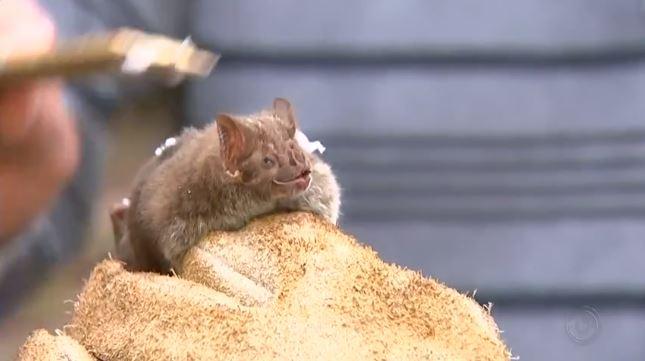Morcegos hematófagos, que se alimentam de sangue