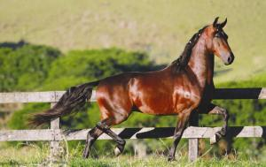 Cavalo Mangalarga Marchador (1)