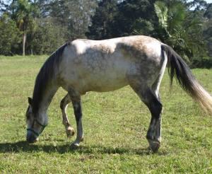 Cavalo Puro Sangue Lusitano - PSL - Vergano Marumby (3)