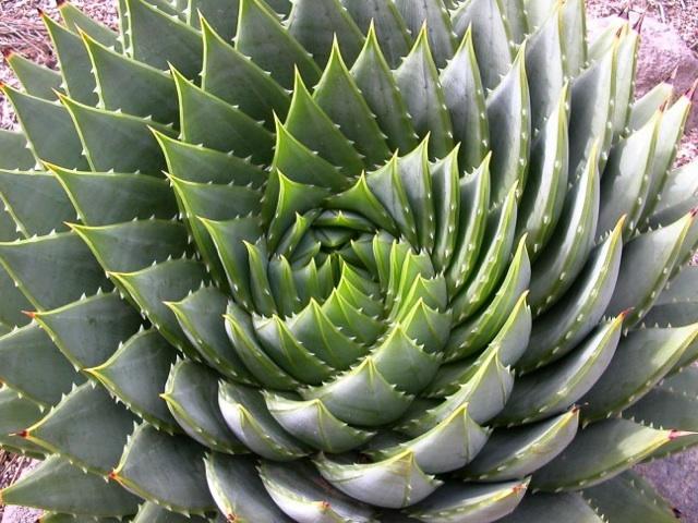 fibonacci_phyllotaxis