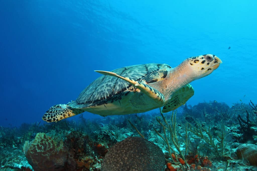 Hawksbill Turtle (Eretmochelys imbricata) swimming over a coral reef with Vacancy Rewards Reviews
