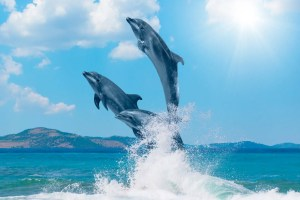 Dolphin attraction jumping in pacific beach san diego