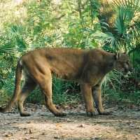 Panther In Naples