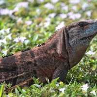 Sanibel Exotic Lizard Management Program