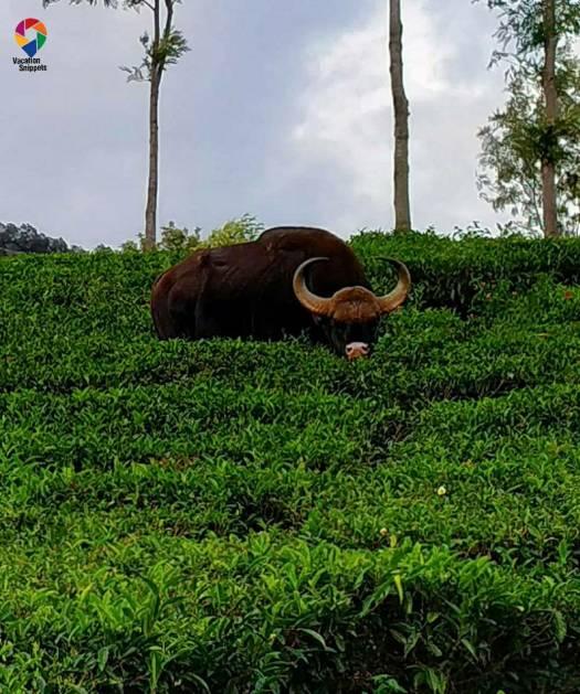 bison at Singara estate