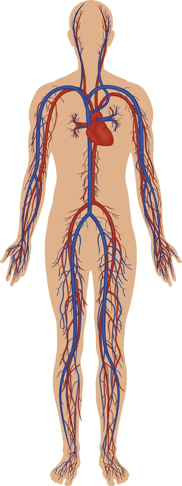 High detail illustration of the human circulatory system