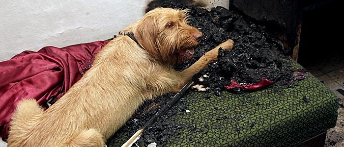 Kabos, a tűzvizsgáló kutya-700