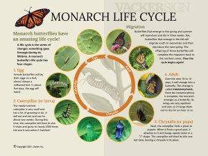 G21-4 Standard Monarch life cycle interpretive sign