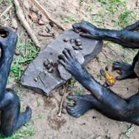 Бонобо могут изготавливать орудия труда и оружие