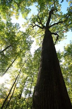 Chêne Emile Guillaumin, forêt de Tronçais (03)