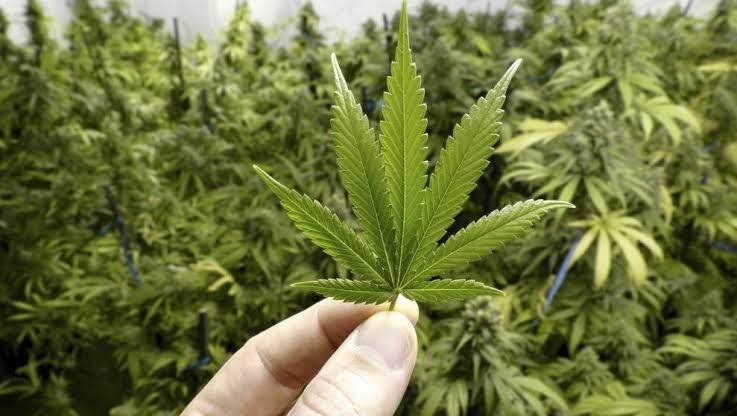 Buscan legalizar la marihuana para cualquier uso