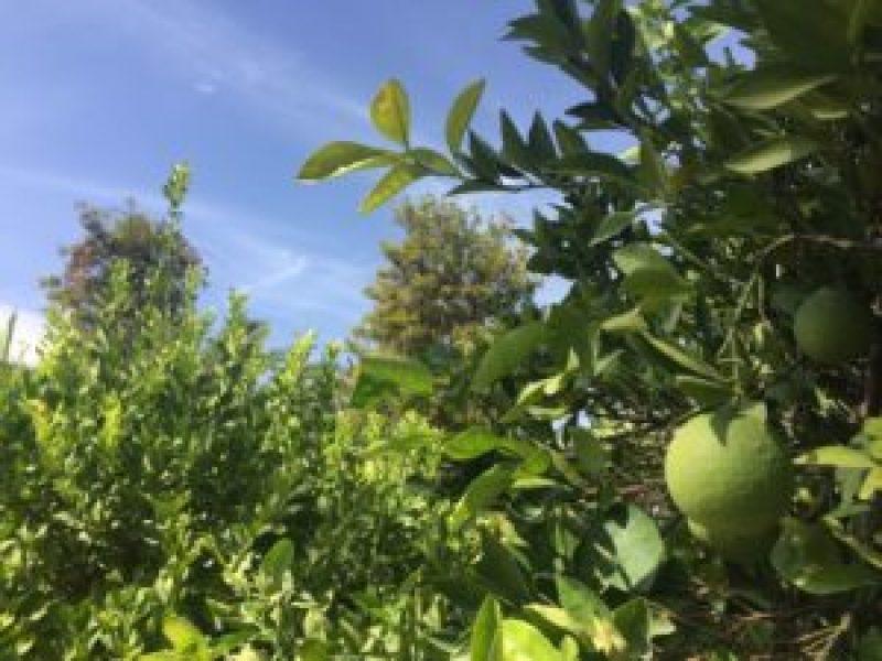 limoenboom-marakech