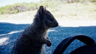 vagabondays-rottnest-australia-24