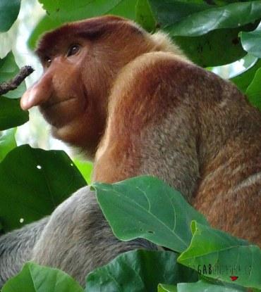 Que faire sur Bornéo en Malaisie voir les singes nasiques