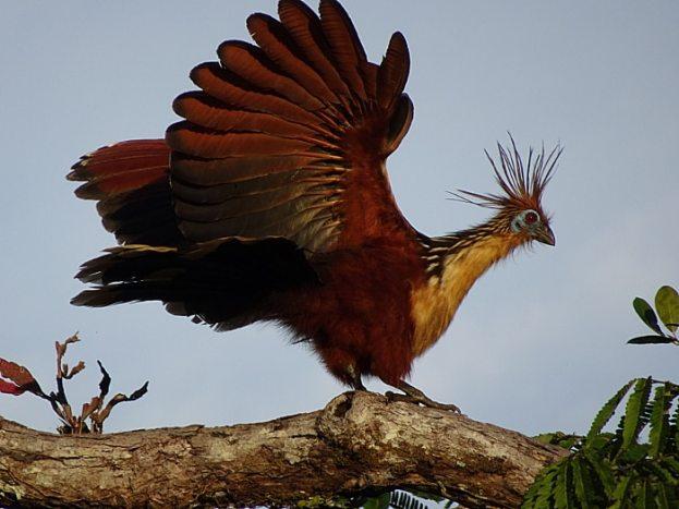 Amazonie en équateur stinky turkey