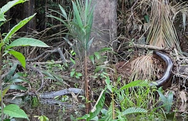 amazonie en équateur anaconda 2